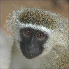 There are a number of subspecies of vervet monkeys, however typically the body is a greenish-olive or silvery-gray. The face, ears, hands, feet and tip of the tail are black, but a conspicuous white band on the temple blends in with the brief whiskers. The vervet is categorized as a medium-sized to huge monkey-males evaluate approximately 17 pounds. Its tail is usually held up, with the suggestion curving downward. Its arms and legs are about the same size. This little, black-faced monkey is…