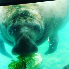 Isn't he cute! We are so fortunate to have these wonderful creatures here in Florida. They are very gentle however always in danger from boaters, fishing lines and more . . #manatee #florida #nature #naturephotography #wildlife #gentlegiant #animalphotog