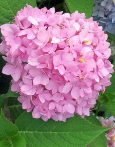 Hydrangeas in August are a comforting sight