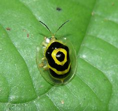 """A nice tropical tortoise beetle (Ischnocodia annulus) that I call """"target beetle"""", very common in Panama Cool Insects, Bugs And Insects, Beautiful Bugs, Beautiful Butterflies, Reptiles And Amphibians, Mammals, Rainforest Animals, Rainforest Insects, Cool Bugs"""