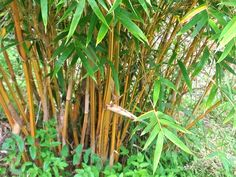 Bamboo Species | Charlie's Bamboo