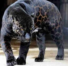 The Black Panther is very rare. The black Panther is one of 3 species. A black Leopard a Black Jaguar or a smaller cat called the Jaguarundi jag-ua-run-di.