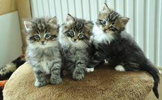 noorse boskat kittens - Google zoeken