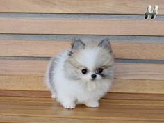 Teacup pomeranian husky mix- want! Teacup pomeranian husky mix- want! Tiny Puppies, Cute Puppies, Cute Dogs, Puggle Puppies, Fluffy Puppies, Maltese Dogs, Daschund, Cute Baby Animals, Animals And Pets
