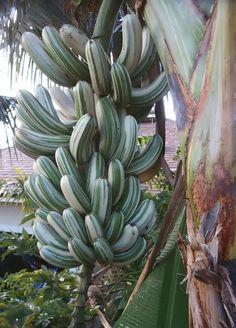 STRIPED BANANA (Musa a'e a'e) - FIJI PRESS™ - Matanitu Tu-Vaka-i-koya ko Viti