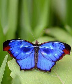 Butterfly Kisses, Blue Butterfly, Butterfly Wings, Types Of Butterflies, Flying Flowers, Beautiful Bugs, Beautiful Butterflies, Butterfly Chrysalis, Blue Morpho