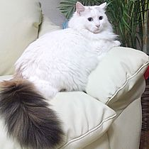cd5494cc8a A White Cat with a Black tail. Melinda Hughes · Turkish Van Cats