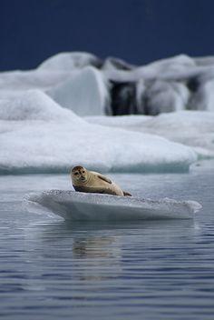 Seals, Jokulsarlon, Iceland