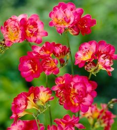 Freesia Rossini