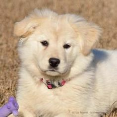 Princess is an adoptable Great Pyrenees Dog in Dacula, GA. Princess is a 10 week old female that is Great Pyrenees and Golden Retriever mix pup, very social, attentive, and independent. Extremely smar...