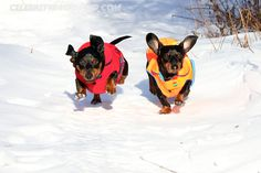 Winter Snow Bros [30 Pics] – Crusoe the Celebrity Dachshund