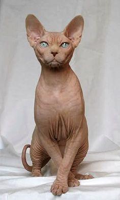 gatti pelati - Cerca con Google