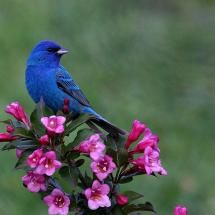 Tattoo idea...Mountain Blue bird---symbol of happiness and rising of the Sun