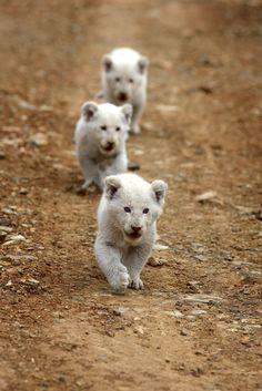 "Africa | ""Innocent killers"". Wild white lion cubs. Kruger National Park, South Africa 