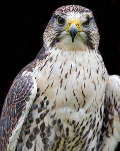 The Prairie Falcon (Falco mexicanus) close-up