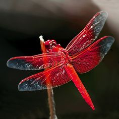 Fiore Jewellery: 'Red Dragonfly'