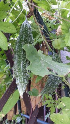 Growing Veggies, Planting Vegetables, Fresh Fruits And Vegetables, Fruit And Veg, Backyard Vegetable Gardens, Fruit Garden, Fruit Plants, Fruit Trees, Cabbage Plant