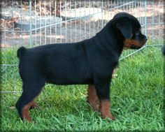Gallery For > German Rottweiler Vs American Rottweiler Puppies