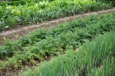 Saat- und Erntezeiten für Gemüse & Kräuter