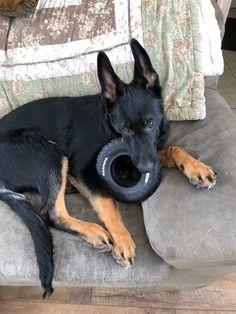 GSD Puppy-TAE