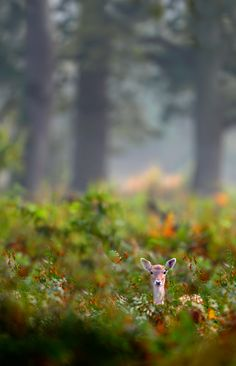 Fallow Deer, Craig Jones Wildlife Photography