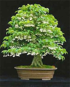 Styrax japonica - flower  Bonsai tree#Repin By:Pinterest++ for iPad#