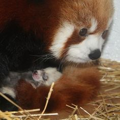 I love you so much, red panda.