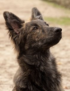 111 Best Dutch Shepherd Dog Names Best Dogs For Families, Family Dogs, I Love Dogs, Cute Dogs, Dutch Bros Drinks, Dutch Shepherd Dog, Animals And Pets, Cute Animals, Saarloos