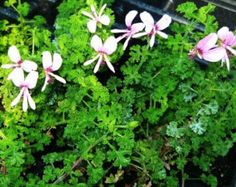 FINGERBOWL LEMON SCENTED GERANIUM Small crinkly green leaves have a strong lemon scent. Upright compact and stiff growth habit and pretty pink flowers when in bloom. Makes a nice container plant. Geranium Plant, Scented Geranium, Dwarf Butterfly Bush, Garden Plants, House Plants, Rose Trees, Colorful Garden, Plant Needs, Flower Farm
