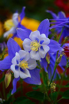 Eine wunderschöne Akelei in blau - hab ich in der Farbe noch nie gesehen! ☺