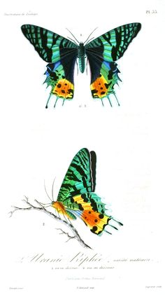 Animal - Insect - French - 1831  Butterfly  --  LOADS of FREE Printables on this site!
