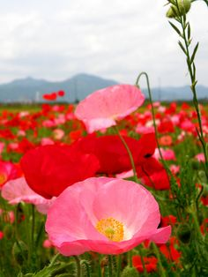 Pink and red poppies