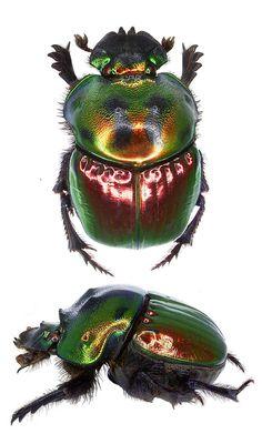 Coprophanaeus saphirinus chabrillacii