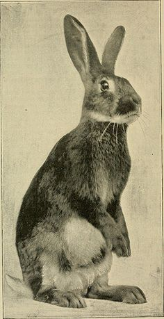 """Image from page 111 of """"The Bonanza rabbitry manual; a practical treatise presenting tested and approved methods for the mating, feeding, management, exhibiting and marketing of the Belgian hare, noblest of the rabbit family"""" (1900) 