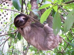 In November I get to go to the sloth reservation and hold some sloths. I'm going to be a smiling weepy mess.  I can't wait!!!