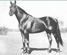 Volomite (1926-1954) A grandson of Peter The Great, Volomite was bred by Walnut Hall Farm and later returned there to begin a great stallion career. Volomite's son, Victory Song established a successful sire line through Noble Victory and Balanced Image. Another son, Worthy Boy, is the sire of Star's Pride and the grand-sire of Super Bowl and Nevele Pride.