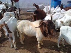 We undertake projects for establishing commercial Stall fed Goat - sheep- Poultry & Dairy farms for the customers who are in search for it . For more details kindly log on to http://www.goatfarmdevelopers.com phone : 9884442068 chennai india  Note : Serious Business Seekers are Welcome.  [Time passers kindly stay away do not disturb us]