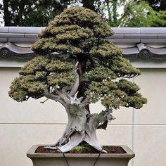 ~ Great Bonsai ~