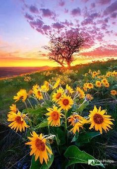 Atardecer y girasoles | Sunset and sunflowers