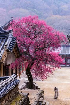 The gold prize winner, 'Red Apricot Blossoms at Hwaeomsa Temple,' shows how the spring scenery at Hwaeomsa Temple in Gurye-gun County, Jeollanam-do Province, brings beauty to the world. Beautiful World, Beautiful Places, Travel Around The World, Around The Worlds, Places To Travel, Places To Go, Spring Scenery, Korea Tourism, Gyeongju