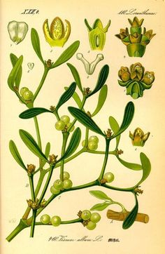 Seed to Feed Me: WHAT IS MISTLETOE?