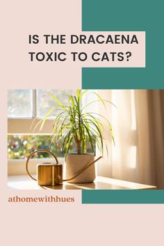 Are your house plants safe for cats? These Dracaena Marginata care tips will allow your plant and furry friend to live together safely. Covering everything you need to know. Houseplants Safe For Cats, Easy Care Indoor Plants, Dracaena Plant, Dragon Tree, Corn Plant, Banana Plants, Lucky Bamboo, Bamboo Plants, Plant Care