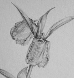 Dianne Sutherland: Tonal drawing Fritillaria pallidiflora Lilies Drawing, Leaf Drawing, Nature Drawing, Drawing Artist, Botanical Drawings, Botanical Art, Botanical Illustration, Pencil Drawings Of Flowers, Pretty Drawings