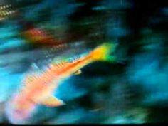 Mullus Barbatus  - Barbunya balığı