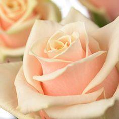 cream and blush peach rose Peach Blush, Blush Roses, Pink Roses, White Flowers, Peach Rose, Rose Flowers, Dusty Rose, Blush Wedding Flowers, Butterfly Wedding