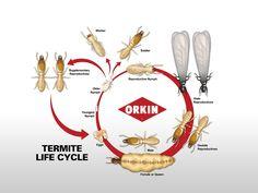 Ciclo de vida de la termita