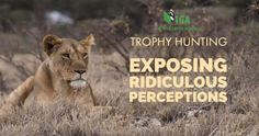 Wildlife: Lies about Lion Hunting – Exposing Ridiculous Perceptions Lion Hunting, Trophy Hunting, Lion Africa, Perception, Lions, Wildlife, Animals, Magazine, Writing
