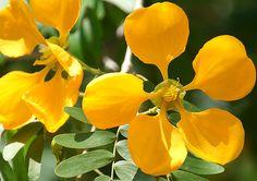 Photos of Colombia Flowers, Bulnesia arborea