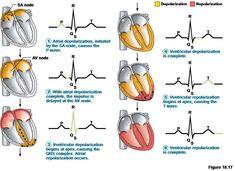 Electrical impulse of the heart. Cardiac Nursing, Pharmacology Nursing, Cardiac Cycle, Nursing School Notes, Human Anatomy And Physiology, Medical Anatomy, Nursing Students, Qrs Complex, Veterinary Care