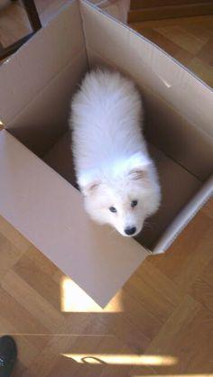 Lyov moving 11 weeks #samoyed #samojeed #puppy